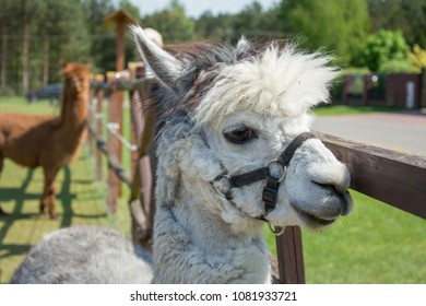 Closeup of a head of white alpaca with big black eyes and delicate muzzle