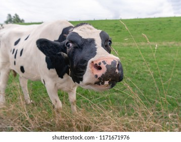Closeup of the head of a young black and white cow almost trying to lick the camera lens of the photographer. The heifer stands on the grass at the foot of a dike in the Netherlands