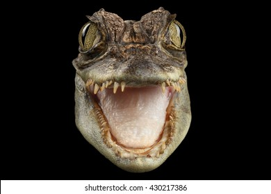 Closeup Head of Young Cayman Crocodile , Reptile with opened mouth Isolated on Black Background, Front view