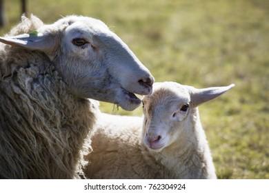 closeup heads of sheep and lamb