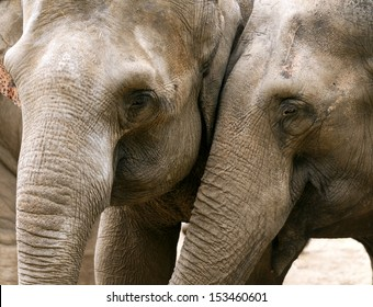 Closeup of the heads of two Asian elephants