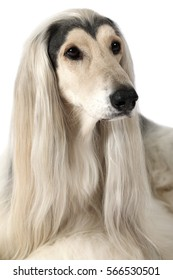 Close-up headshot of Afghan Hound Dog looking up with grooming hairstyle isolated on white background
