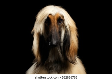 Close-up Headshot of Afghan Hound fawn Dog on isolated Black Background, front view