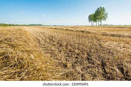 Closeup of a heap of golden yellow dry straw stalks on the field and a small row of trees in the background.