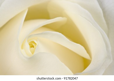 Closeup of the heart of a perfect white rose