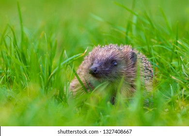 Closeup of a Hedgehog, Erinaceus europaeus, in a meadow in search for food