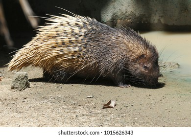 Closeup a Hedgehogs