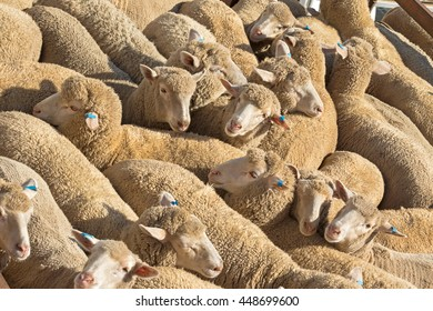 Closeup of a herd of Australian sheep standing in the sun on a truck before being transported to another place