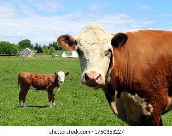 Close-up of Hereford cow with little calf in behind standing out on pasture looking at camera