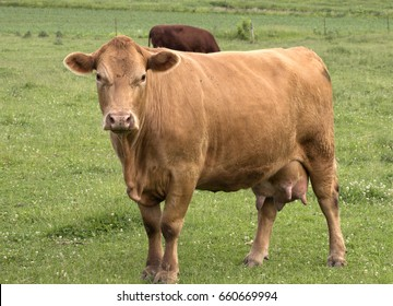 Closeup of a Hereford cow standing in a lush pasture