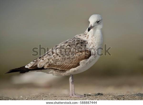 Closeup of Heuglins gull