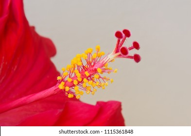 closeup of hibiscus rosa sinensis flower revealing male and female reproductive organs stamen and pistil