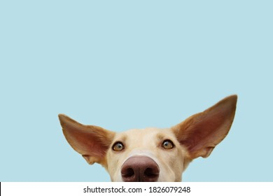 Close-up hide attentive and listening puppy hound dog with big ears. Isolated on blue colored background.