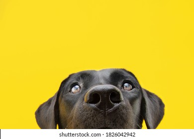 Close-up hide black labrador dog Isolated on yellow colored backgound.
