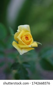 Close-up high angle macro view of a young small yellow rose blossom