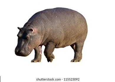 Close-up of Hippopotamus against a white background; hippopotamus amphibius