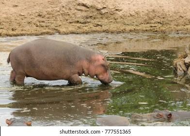"Closeup of Hippopotamus (scientific name: Hippopotamus amphibius, or ""Kiboko"" in Swaheli) image taken on Safari located in the Serengeti National park, Tanzania"