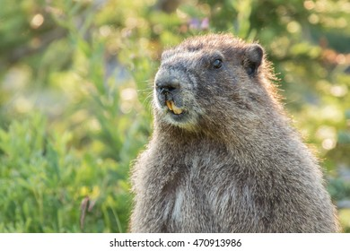Close-up of a Hoary Marmot (Marmota caligata) standing up in a sub-Alpine meadow in Mt. Rainier National Park. Hoary Marmots are the largest ground squirrel in North America.
