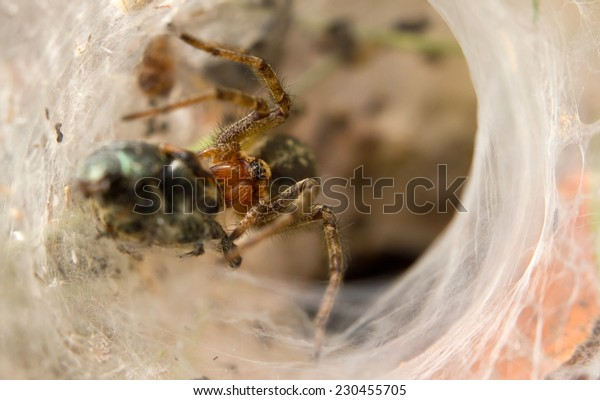 Close-up of a Hobo spider catching a small beetle