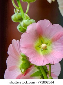 Closeup of Hollyhock flowers in summer sunlight