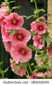 Close-up of a hollyhock in front of a house