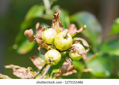 Closeup of home grown Quince tree with young fruit growing in garden, summer in Europe (Cydonia oblonga)