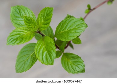 Closeup of homegrown Carinthian mint (Kaerntner Mint) with blurred background (Mentha carinthiaca )