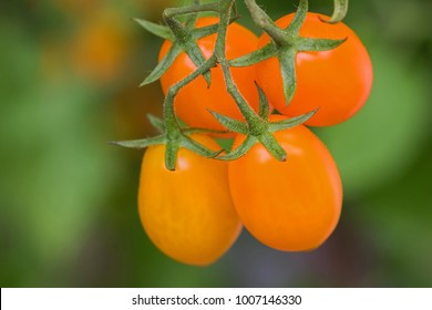 Closeup homegrown ripe orange plum tomato, San Marzano (Santorange) on its vine in Europe, blurred green background