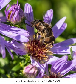 Closeup of a  Honey Bee Foraging on a Shaded Deep Violet Daisy with a Bright Yellow Center Against a Green Background