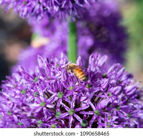Close-up of honey bee gathering pollen on purple allium flowers with soft focus background. Photo shot locally at Kendrick Lake Park Lakewood, CO, May 2018.