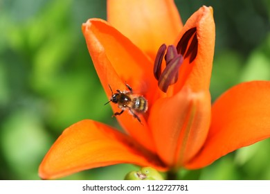 Close-up of a honey bee just flying past the blossom of an orange lily (Lilium bulbiferum)