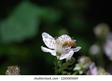 A close-up of a honey bee pollinating a blackberry flower. Summer in Northern California. Pollinators, bees, pollen, close up.