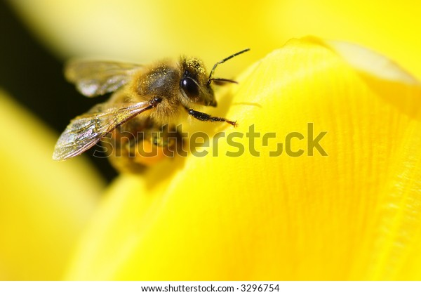 Closeup of a honey bee resting on a flower.