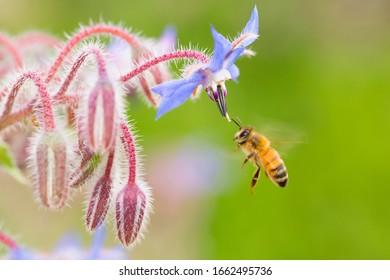 closeup of honeybee on borage flowers in summertime