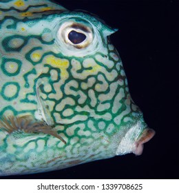 Closeup of a Honeycomb Cowfish (Acanthostracion polygonius) - Bonaire
