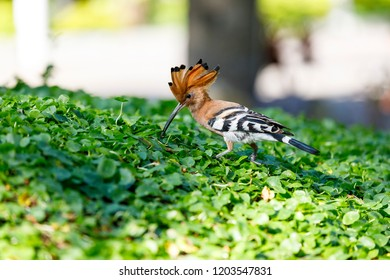 Closeup of hoopoe bird on green grass leaves
