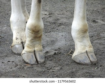 Closeup of giraffe's hooves on sandy background