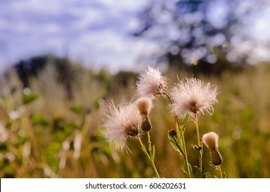 Closeup horizontal ground level bottom view photo of white fuzz sow thistle in the russian field. Warm tone image.
