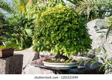 closeup of hornbeam bonsai in a japanese garden