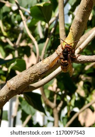 Closeup of hornet queen, vespa crabro, eating on a lilac trunk for to get sap in late summer.