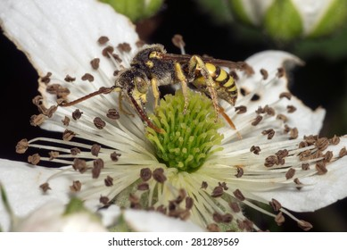 Close-up of a hornet or wasp feeding on a white flower