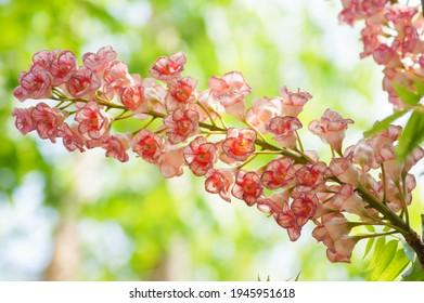 Closeup hoto of Chompoo Phukha flower (Bretschneidera sinensis) at Doi Phu Kha National Park, Pua District, Nan, Thailand