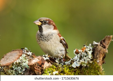 closeup of a House sparrow standing on a tree