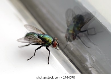 Closeup of a housefly with its reflection in a glass window