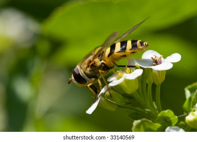 Close-up of hover fly insect feeding on white flower