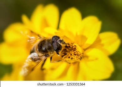 close-up of a  hoverfly pollinating a yellow Bloom. Very fine details visible.