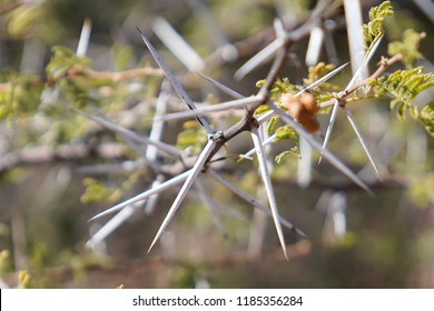 Close-up of huge white acacia thorns on African acacia thorntree with small green acacia tree leaves at Okonjima Nature Reserve, Namibia, Africa