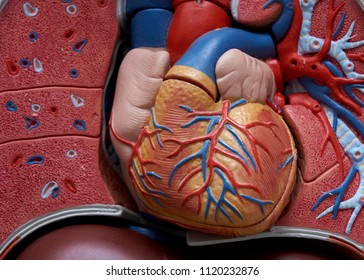 Close-up of human model upper body showing cardiovascular system