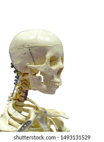 Close-Up Of Human skeleton Against White Background with clipping path.