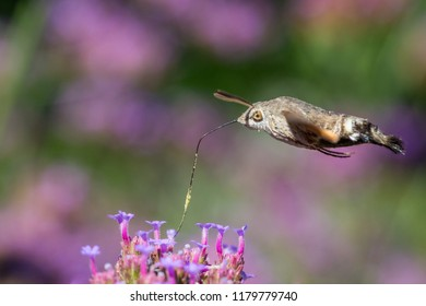 closeup of a hummingbird hawk-moth
